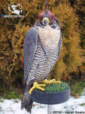 Peregrine falcon falcons eu
